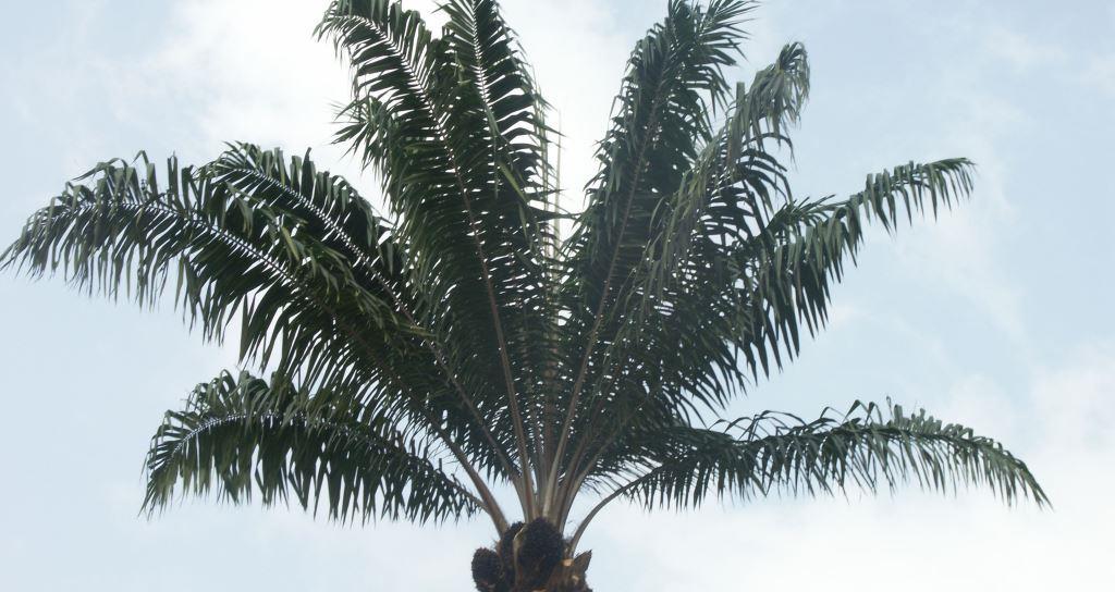 airdcinet-palmier-nature03
