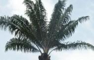 Choisir le palmier